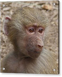 Young Hamadryas Baboon Portrait Acrylic Print by Margaret Saheed