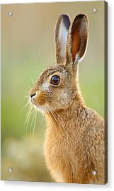 Young Hare Portrait Acrylic Print