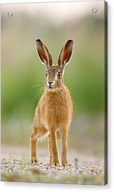 Young Hare Acrylic Print