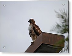 Young Hawk Acrylic Print by Jean Booth