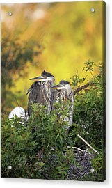Young Herons Acrylic Print