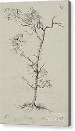 Young Hickory, 1823 Acrylic Print