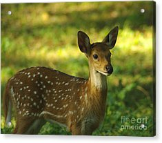 Acrylic Print featuring the photograph Young Indian Spotted Deer by Jacqi Elmslie