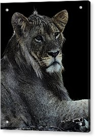 Young Lion Acrylic Print by Keith Lovejoy