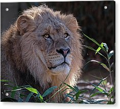 Young Lion King Acrylic Print by Ronda Ryan