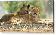 Young Lioness Acrylic Print by Yuri Peress
