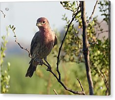 Young Male House Finch Acrylic Print