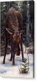 Young Moose And Pussy Willows Springtime In Alaska Wildlife Painting Acrylic Print