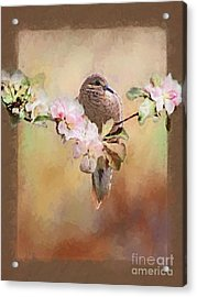 Young Morning Dove Acrylic Print