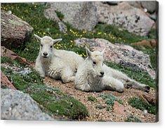 Young Mountain Goats Acrylic Print