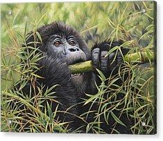 Young Mountain Gorilla Acrylic Print