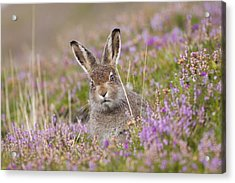 Young Mountain Hare In Purple Heather Acrylic Print