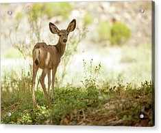 Young Mule Deer Looking Back Into Camera Acrylic Print