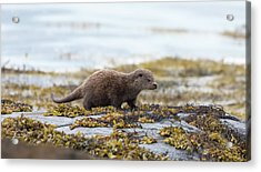 Young Otter Acrylic Print