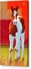 Young Pinto Acrylic Print by Nancy Jolley