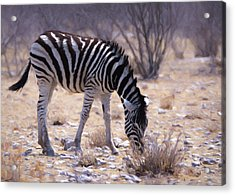 Acrylic Print featuring the digital art Young Plains Zebra by Ernie Echols