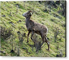Acrylic Print featuring the photograph Young Ram Climbing by Mike Dawson