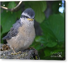 Acrylic Print featuring the photograph Young Red-breasted Nuthatch No. 1 by Angie Rea