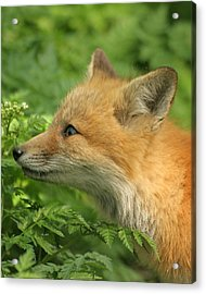 Acrylic Print featuring the photograph Young Red Fox In Profile by Doris Potter