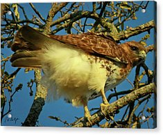 Young Red-tail Acrylic Print by Phill Doherty