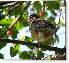 Acrylic Print featuring the photograph Young Robin by Angie Rea
