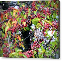 Acrylic Print featuring the photograph Young Robin In The Berries by Kerri Farley