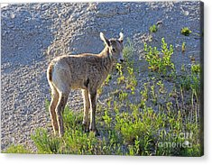 Young Rocky Mountain Bighorn Sheep Acrylic Print by Louise Heusinkveld