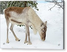 Acrylic Print featuring the photograph Young Rudolf by Delphimages Photo Creations