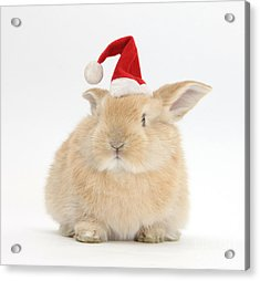 Young Sandy Rabbit Wearing A Christmas Acrylic Print by Mark Taylor