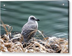 Young Seagull Acrylic Print by Nick Gustafson