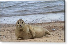 Young Seal Pup On Beach - Horsey, Norfolk, Uk Acrylic Print by Gordon Auld
