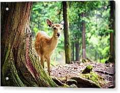 Young Sika Deer In Nara Park Acrylic Print