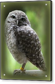 Young Snowy Owl Acrylic Print