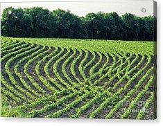 Young Soybean Plants Acrylic Print