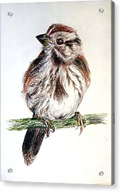 Acrylic Print featuring the painting Young Sparrow by Sibby S