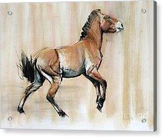 Young Stallion Acrylic Print