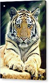 Young Tiger Acrylic Print