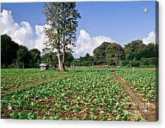 Young Tobacco Plants Acrylic Print by Inga Spence