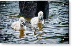 Young 'uns, Black Swan Cygnets Acrylic Print