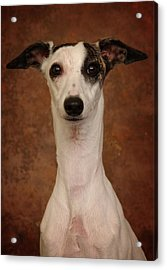 Acrylic Print featuring the photograph Young Whippet by Greg Mimbs