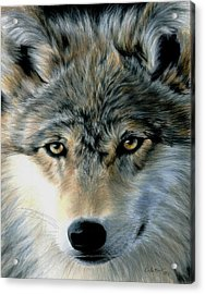 Young Wolf Acrylic Print