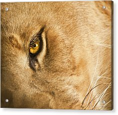 Your Lion Eye Acrylic Print
