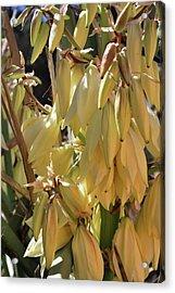 Yucca Bloom II Acrylic Print