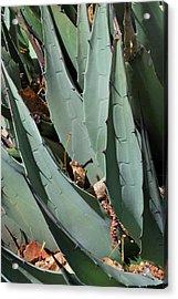 Yucca Leaves Acrylic Print
