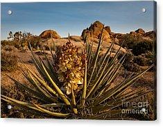 Yucca Bloom Acrylic Print