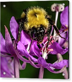 Acrylic Print featuring the photograph Yummy Pollen by Darcy Michaelchuk