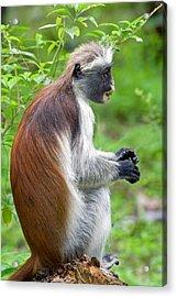 Zanzibar Red Colobus Monkey Acrylic Print by Aivar Mikko