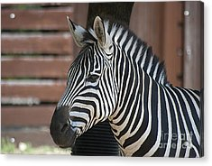 Zebra 20120718_150a Acrylic Print