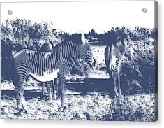 Zebra 4 Acrylic Print