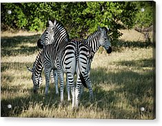 Three Zebras Acrylic Print